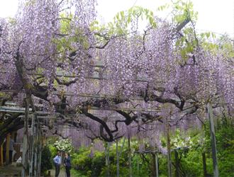 太江寺の藤祭り